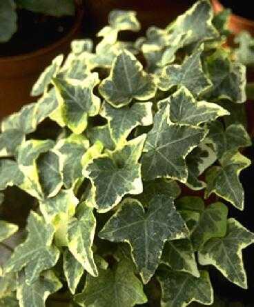 Латинское имя: Hedera canariensis 'Variegata' Русское имя: Плющ канарский 'Variegata' Тип растения: лиственное...